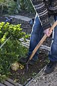 Knollensellerie im Biogarten ernten