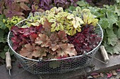 Heuchera 'Amber Lady' 'Creme Brulee' 'Red Fury'und Heucherella