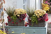 Korb - Kästen bepflanzt mit Chrysanthemum (Herbstchrysanthemen), Carex