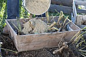 Dahlien im Herbst abschneiden, ausgraben und in Kiste mit Sand einwintern