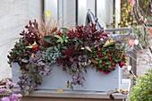 Winterfest bepflanzter Kasten mit Skimmia reevesiana (Frucht - Skimmie