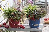 Emaillierte Eimer winterhart bepflanzt : Carex morrowii 'Ice Dance'