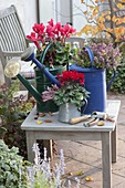 Bepflanzte Giesskannen : Cyclamen (Alpenveilchen) und Erica darleyensis