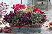 Roter Kasten mit Cyclamen (Alpenveilchen), Chrysanthemum