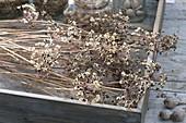 Samenernte : Allium ramosum - Chinesischer Lauch