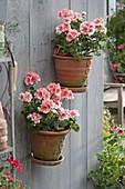 Handgetoepferte Wand - Haengetoepfe mit Pelargonium zonale