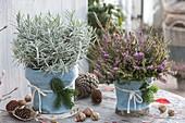 Erica darleyensis (Schneeheide) und Lavendel (Lavandula)