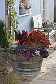 Herbstzauber in Holzfass : Chrysanthemum 'Kilbil' (Herbstchrysantheme)