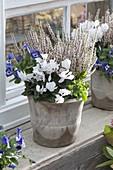 Calluna vulgaris 'Alicia' (Knospenbluehende Besenheide), Cyclamen