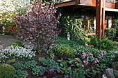 Blühende Prunus cistena (Zwerg-Blutpflaume) im Beet mit Arabis (Gänsekresse), Euphorbia (Wolfsmilch), Geranium (Storchschnabel), Bergenia (Bergenien) und Symphytum (Beinwell)