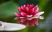 Nymphaea 'Almost Black' (Seerose)