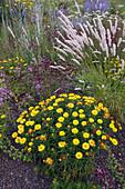 Buphthalmum salicifolium (Ochsenauge), Oregano, Dost (Origanum) und Melica ciliata (Wimper-Perlgras) im Kiesbeet