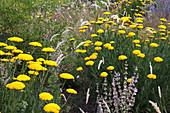 Achillea filipendulina 'Coronation Gold' (Schafgarbe), Melica ciliata (Wimper-Perlgras) und Muskatellersalbei (Salvia sclarea)