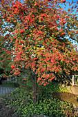 Sorbus aucuparia (Eberesche, Vogelbeere) unterpflanzt mit Geranium (Storchschnabel)