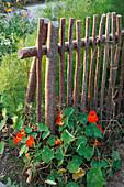 Rustikaler Holzzaun aus Ästen von Corylus avellana (Haselnuss) mit Tropaeolum (Kapuzinerkresse)