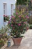 Camellia sasanqua 'Hiryu' (Kamelie) in Terracotta - Kübel auf Holzdeck