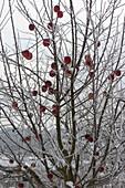 Einige Äpfel (Malus) am Baum hängen lassen als Futter für Vögel