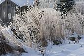 Beet mit Miscanthus (Chinaschilf) verschneit im Winter