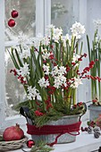 Narcissus Paperwhite 'Ziva' (Tazetten - Narzissen) in Zink - Schale