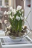 Narcissus Paperwhite 'Ziva' (Tazetten - Narzissen) in Schale
