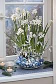 Narcissus Paperwhite 'Ziva' (Tazetten - Narzissen) in Glas - Schale