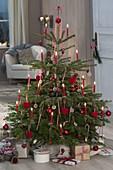 Abies nordmanniana (Nordmanntanne) als Weihnachtsbaum geschmückt