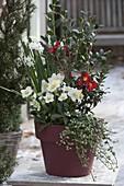 Camellia 'Yuletide' (Kamelie), Helleborus niger (Christrosen), Narcissus 'Zi