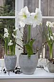 Hippeastrum 'Mont Blanc' (Amaryllis) und Narcissus 'Ziva'