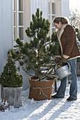 Frau giesst Pinus leucodermis (Schlangenhaut-Kiefer), Picea glauca 'Conica'