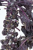 Rosenkohl, rot 'Rubine' (Brassica oleracea var. gemmifera)