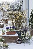 Verschneite Vorfruehlingsterrasse mit Jasminum nudiflorum (Winterjasmin)