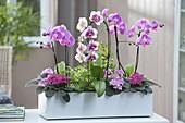 Phalaenopsis 'Dream Diamond' 'Pink' (Malayenblumen, Schmetterlingsorchideen