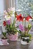 Hippeastrum vittatum 'Kolibri' rot , 'Apple Blossom' (Amaryllis), Hyacinthus