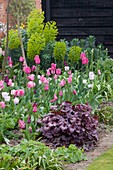 Ulting Wick, ESSEX, SPRING: BORDER Beside A LAWN with Pink Tulipa, HEUCHERA AND EUPHORBIA