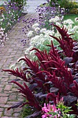 Ulting Wick, ESSEX - BRICK PATH with Box EDGED BED FILLED with AMARANTHUS 'VELVET CURTAINS', PENNISETUM VILLOSUM,AND Verbena BONARIENSIS
