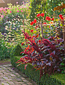 Ulting Wick, ESSEX - Box EDGED BORDER at DAWN with PENNISETUM THUNBERGII 'Red BUTTONS', AMARANTHUS 'VELVET CURTAINS', DAHLIA