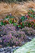 CAMBRIDGE BOTANIC Garden, CAMBRIDGESHIRE: Winter - BORDER with Carex, BERGENIA AND Erica X DARLEYENSIS 'KRAMERS Rote'
