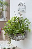 Korb bepflanzt mit Asplenium scolopendrium 'Amy' (Hahnenkammfarn)