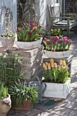 Tulipa 'Curly Sue' 'Lilac Perfection' 'Yellow Star' (Tulpen), Salix caprea 'K