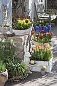 Tulipa 'Curly Sue' 'Lilac Perfection' 'Yellow Star' (Tulpen), Primula veris