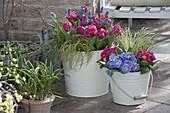 Tulipa 'Lilac Perfection' (Tulpe), Muscari armeniacum (Traubenhyazinthen)