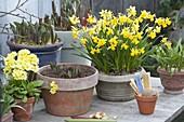 Narcissus 'Tete a Tete' (Narzissen), Primula veris (Schluesselblumen