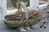 Korb mit frisch geschnittenen Zweigen von Corylus avellana (Haselnuss)