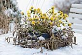 Schale mit Eranthis (Winterling) in Kranz aus Corylus avellana