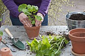 Grosse Wasabi-Pflanze teilen und eintopfen