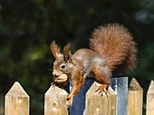 Eichhörnchen mit Walnuss auf Gartenzaun, Sciurus vulgaris, Bayern, Deutschland / Red Squirrel with nut on garden fence, Sciurus vulgaris, Bavaria, Germany, Europa