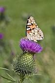 Distelfalter, Cynthia cardui, Gemeine Kratzdistel, Bayern, Deutschland / butterfly on thistle, Cynthia cardui, Bavaria, Germany