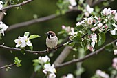 Feldsperling in Apfelbaum, Passer montanus, Bayern, Deutschland / Tree Sparrow in apple tree, Passer montanus, Bavaria, Germany, Europe