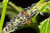 Blattläuse, Aphis spec., und Trockenrasen-Knotenameisen, Myrmica scabrinodis, Bayern, Deutschland / Aphids, Aphis spec., and ants, Trockenrasen-Knotenameisen, Myrmica scabrinodis, Bavaria, Germany