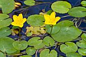 Blühende Seekanne, Nymphoides peltata, Österreich / Pond with yellow flowers, Nymphoides peltata, Austria, Central Europe